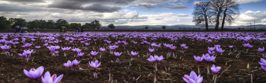 Κρόκος Κοζάνης (saffron)